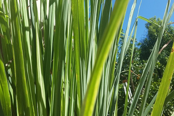 lemon grass top food for throwing off toxins from the body