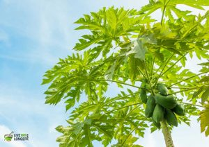 papaya juice for dengue fever