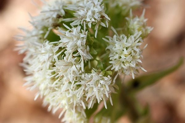 herb remedy for headache