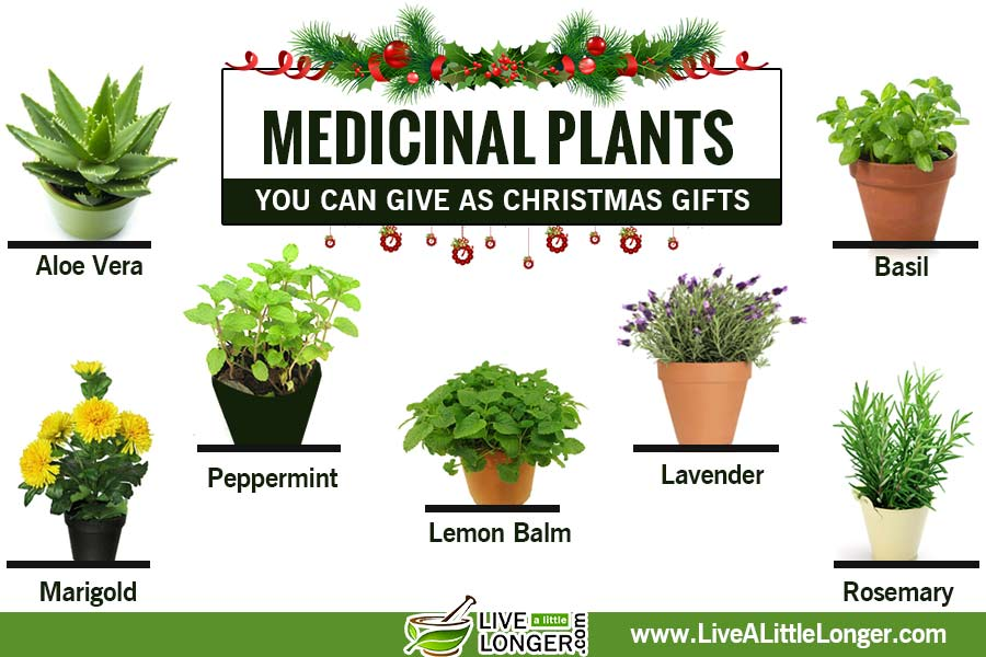 Medicinal Plants You Can Give As Christmas Gifts