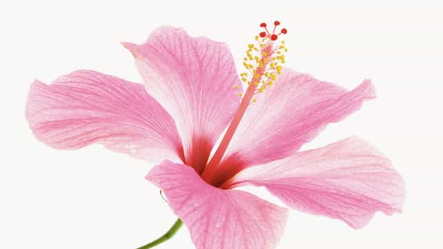 9 Scientifically Proven Health Benefits Of Hibiscus Flower Lllcare