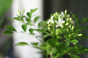 how to grow jasmine indoors