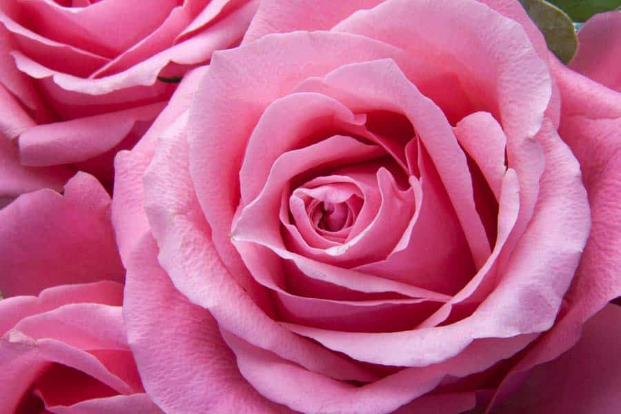 Health benefits of rose