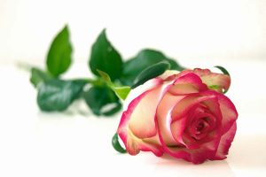 best rose benefits