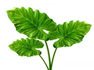 Health Benefits Of Taro Leaves