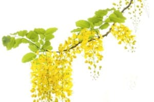 Cassia Fistula herb for freckles