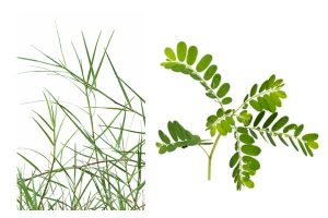 Cynodon Dactylon is a great herb to purify blood