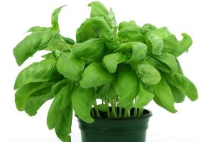 Basil Leaves for menstrual pain