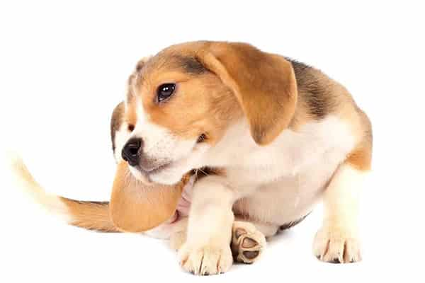 ear-mites-in-dogs