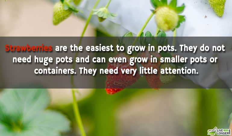 Strawberries-Can-Grown-At-Home