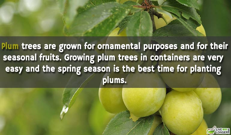 plums-Can-Grown-At-Home